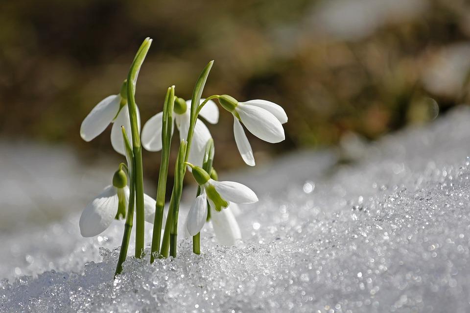 Schneeglöckchen aus dem Schnee empor